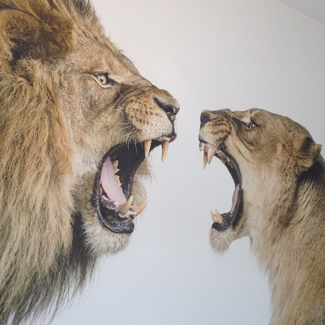 Impression murale interieure lions BF Impressions Murales